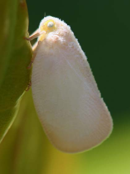 Planthopper - Ormenaria rufifascia
