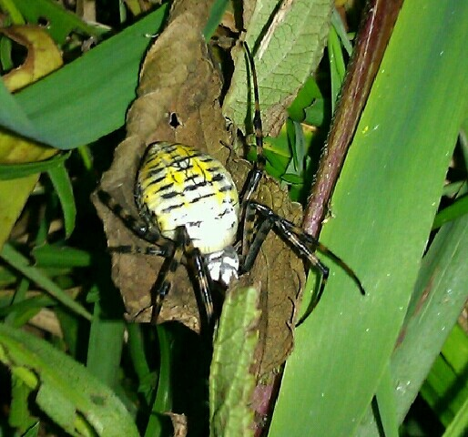 black yellow and white spider/ horizontal lines across body/ legs are striped with black and tan-ish color/ Southeast Michigan  - Argiope trifasciata - female