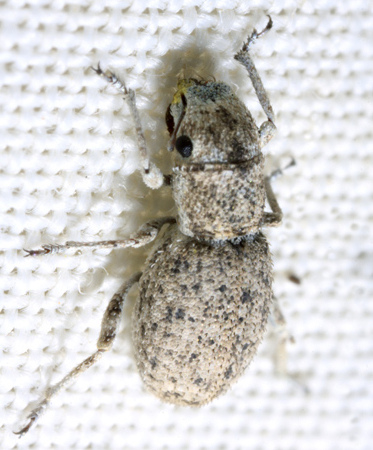 Beetle - Minyomerus laticeps