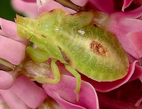 nymph - Phymata