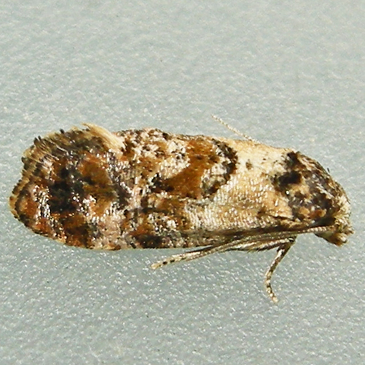 Hoffman's Cochylid Moth - Cochylis hoffmanana