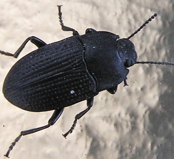 Lumpy-eyed Beetle - Alaetrinus minimus