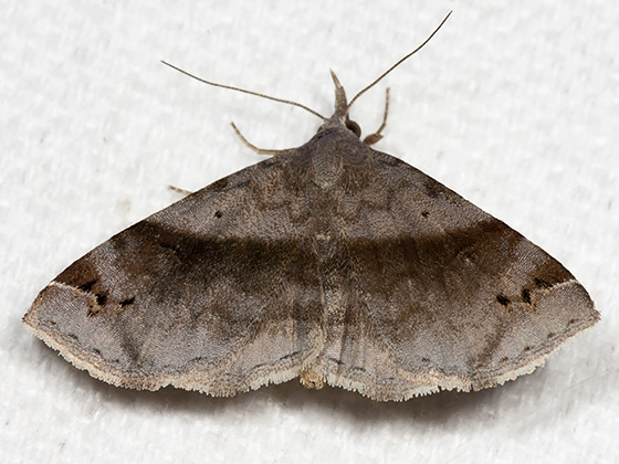 Six-spotted Gray - Hodges#8479 - Spargaloma sexpunctata