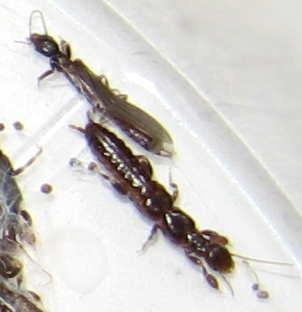 Bug4 - Oligotoma nigra