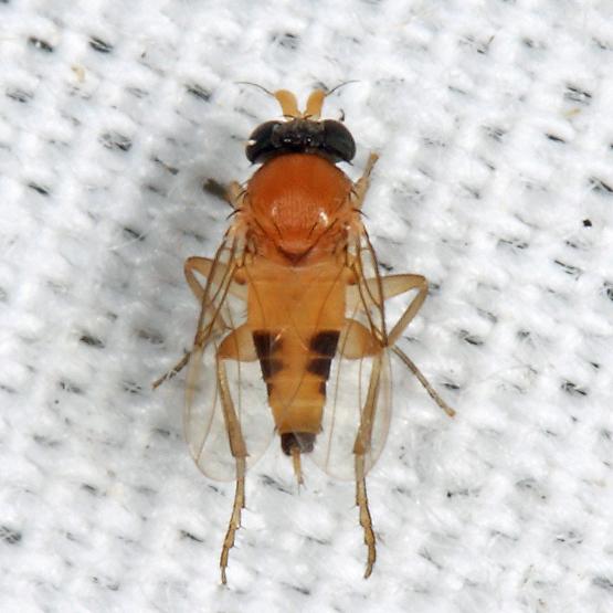 scuttle fly - Apocephalus - male