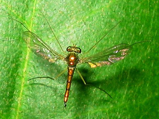 Long-legged Fly - Sciapus - male