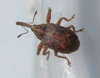 tiny weevil - Anthonomus quadrigibbus