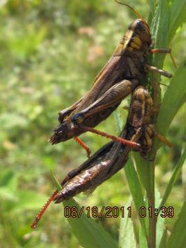 Red-legged locust - Melanoplus bivittatus - female