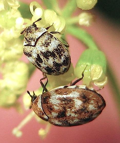 Carpet Beetles On Parsley Anthrenus Verbasci Bugguide Net