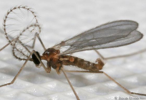 Very Small Fly Aphidoletes Aphidimyza Bugguide Net