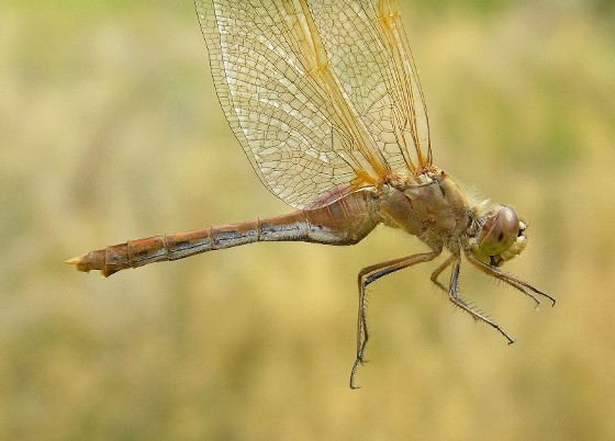 Saffron-winged Meadowhawk - Sympetrum costiferum - female