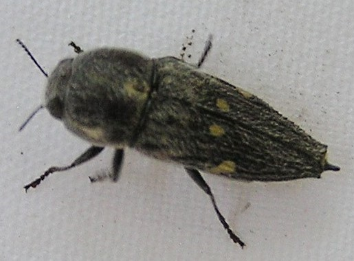 Hairy Buprestid - Paratyndaris prosopis