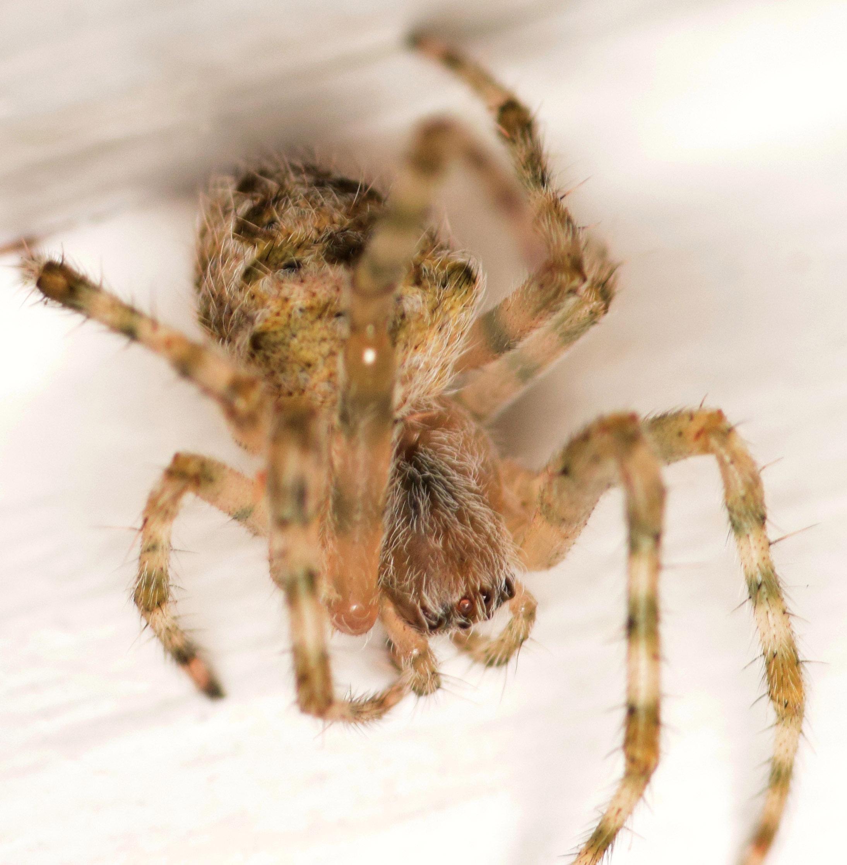 juvenile barn spider - Araneus cavaticus - BugGuide.Net