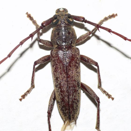 Longhorned beetle - Elaphidion mucronatum