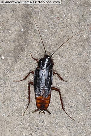 Oriental Cockroach - Blatta orientalis - male