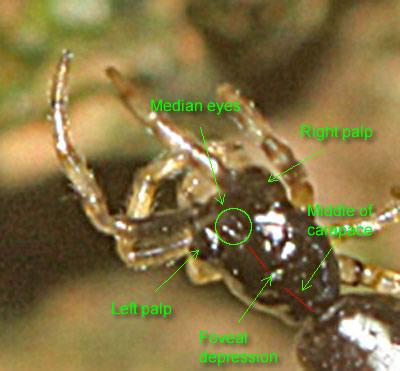 Small spider - Micrathena gracilis