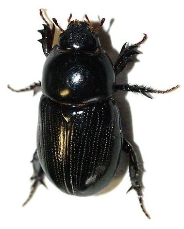 Black scarabaeidae, Dynastinae? - Euetheola subglabra