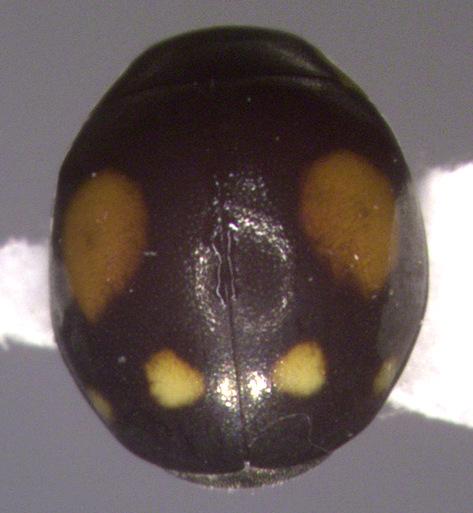 Coccinellidae, dorsal - Hyperaspis proba