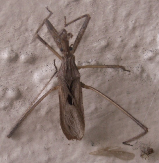 Assassin Bug - Zelus? - Stenopoda spinulosa