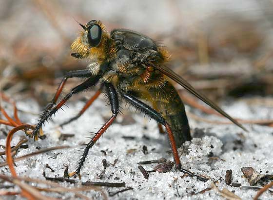 Robber Fly ovipositing - Proctacanthus fulviventris - female