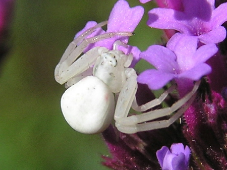 White spider - Misumena vatia - female