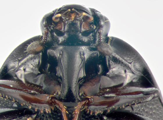 Histeridae, ventralX - Euspilotus assimilis