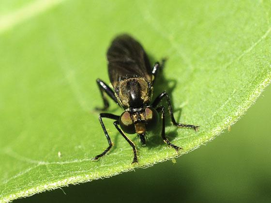 Mated Eudioctria albius - Eudioctria albius - male - female
