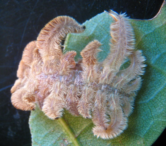 Hag Moth Caterpillar - Phobetron pithecium