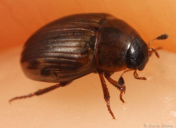 seaweed beetle - Cercyon fimbriatus