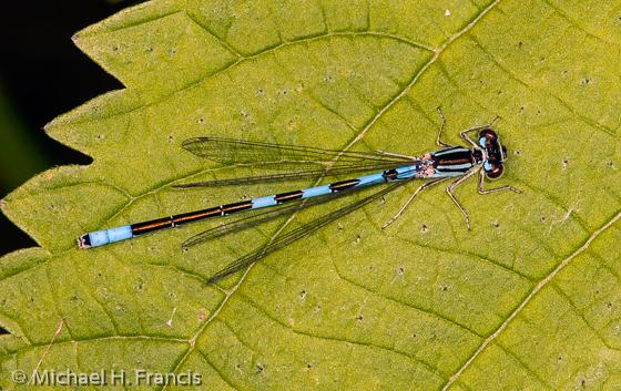 Taiga Bluet Damselfly (Coenagrion resolutum) - Coenagrion resolutum - male