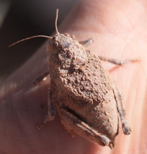 Phrynotettix - Phrynotettix tshivavensis - female
