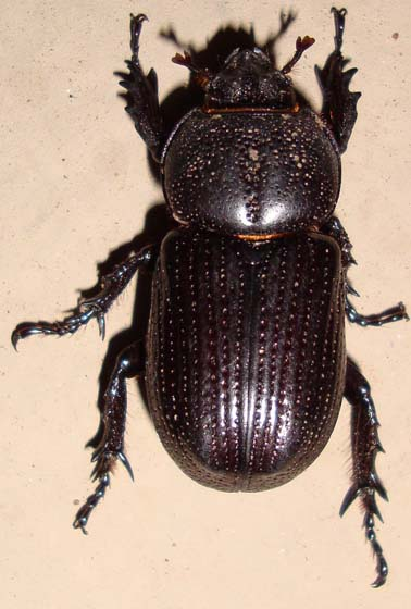 unknown beetle - Hemiphileurus illatus
