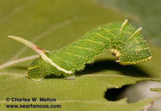 Larva Day 15 - Pachysphinx occidentalis
