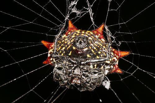 Thorny-orbed Spider-- underside - Gasteracantha cancriformis