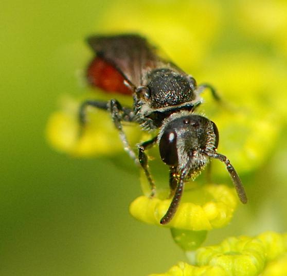 black bee with red abdomen - Sphecodes - female