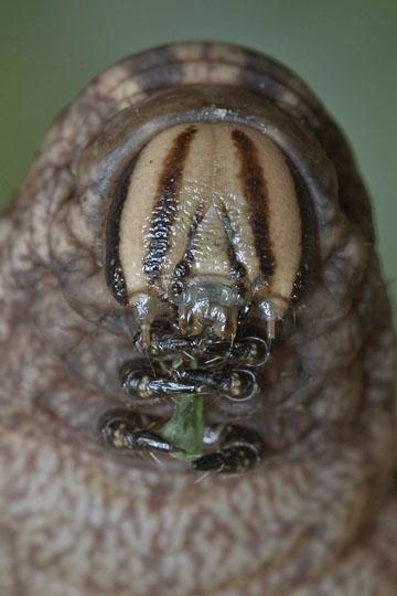Pink-spotted Hawkmoth Larva - Agrius cingulata