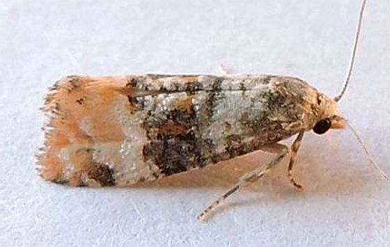 Pennsylvania Moth - Thyraylia nana