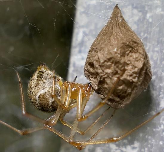 house spider - Parasteatoda tepidariorum - female
