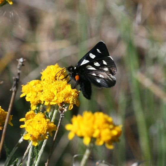 Black and White Butterfly - Alypia mariposa