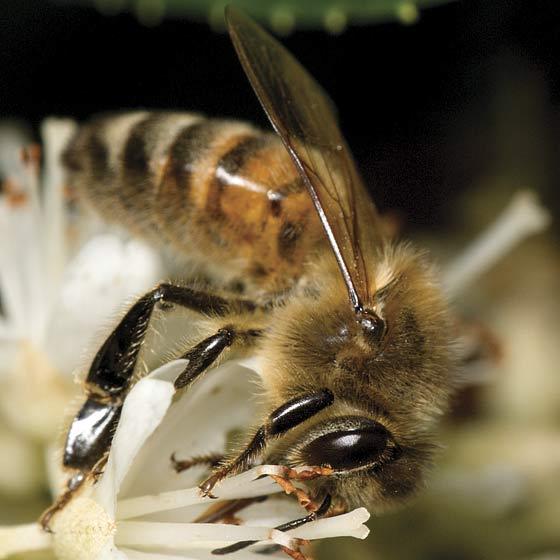 Species Apis mellifera - Honey Bee - Apis mellifera