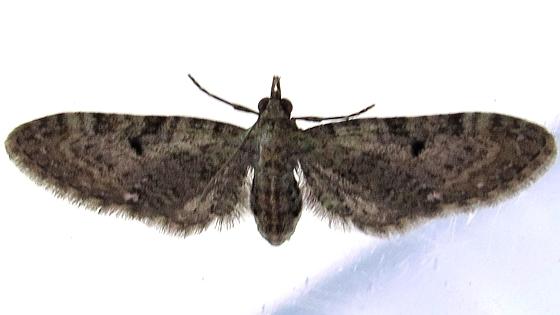 moth - Aug. 28 - Eupithecia miserulata