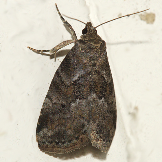Dotted Graylet Moth - Hyperstrotia nana