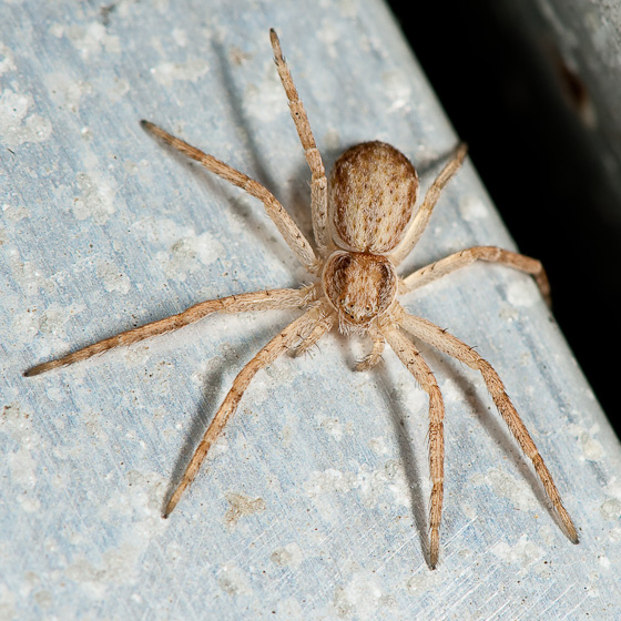 Philodromus dispar - female