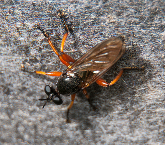 Orange-legged Robber? - Laphria sadales
