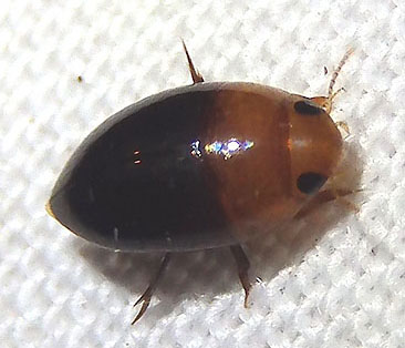 small diver - Hydrocanthus