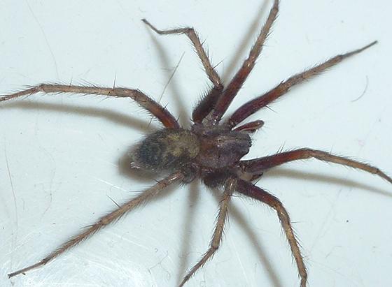 Lightly banded legs - Tegenaria domestica - BugGuide.Net