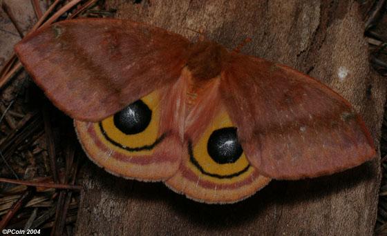 Io Moth - Automeris io - female