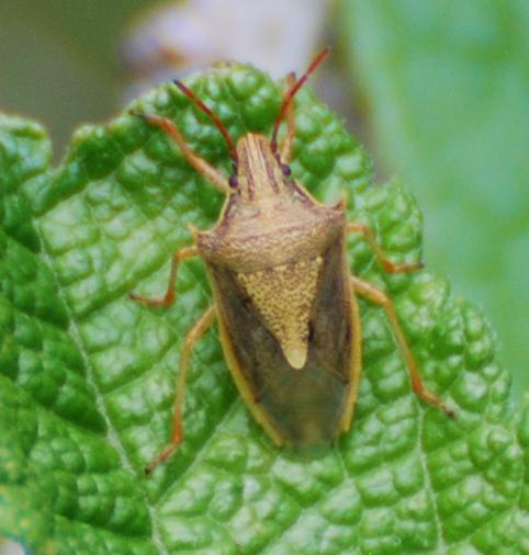 Rice Stink Bug - Oebalus pugnax? - Oebalus pugnax