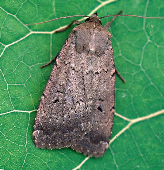 The Soothsayer Dart - Graphiphora augur