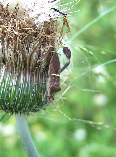 Leaf-footed bug on thistle - Leptoglossus phyllopus